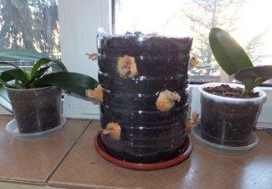 Как вырастить зеленый лук в домашних условиях